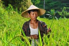Agricoltore organico che lavora e che raccoglie riso Immagine Stock