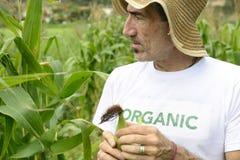 Agricoltore organico che mostra cereale dentro la piantagione Immagine Stock