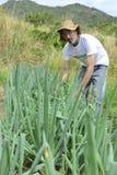 Agricoltore organico che raccoglie cipolla verde Fotografia Stock Libera da Diritti