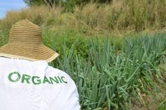 Agricoltore organico che raccoglie cipolla verde Fotografie Stock
