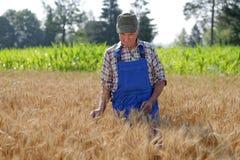 Agricoltore organico che sta in un giacimento di grano Fotografia Stock Libera da Diritti