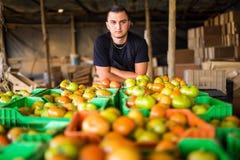Agricoltore organico felice sopra i contenitori di pomodori nello stoccaggio prima del prepa Immagini Stock