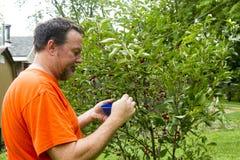 Agricoltore organico Picking Cherries Fotografie Stock Libere da Diritti