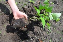 Agricoltore Planting, coltivante e raccogliente le patate dolci Immagini Stock