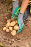 Agricoltore And Potato Fotografia Stock