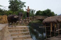 Agricoltore Pulling Buffalo a Guilin Fotografia Stock
