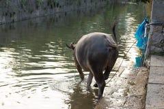 Agricoltore Pulling Buffalo a Guilin Fotografia Stock Libera da Diritti