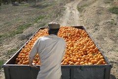 Agricoltore Pushing Oranges Trailer nel campo Fotografia Stock Libera da Diritti