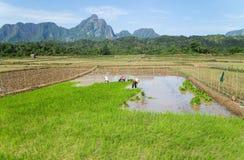 Agricoltore Rice che coltiva, Vangvieng Fotografia Stock Libera da Diritti