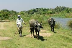 Agricoltore rurale dell'India con le coppie i bufali domestici Fotografia Stock Libera da Diritti