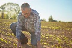 Agricoltore Senior in campagna che controlla cultura nei campi Immagini Stock