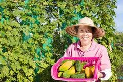Agricoltore senior che lavora nell'azienda agricola di verdure Immagine Stock Libera da Diritti