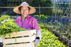 Agricoltore senior che lavora nell'azienda agricola di verdure Fotografia Stock