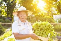 Agricoltore senior che lavora nell'azienda agricola di verdure Fotografie Stock