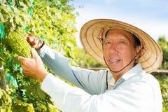 Agricoltore senior che lavora nell'azienda agricola di verdure Immagini Stock