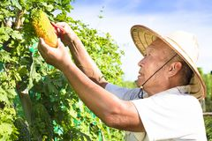 Agricoltore senior che lavora nell'azienda agricola di verdure Fotografia Stock Libera da Diritti