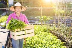 Agricoltore senior che lavora nell'azienda agricola di verdure Immagini Stock Libere da Diritti