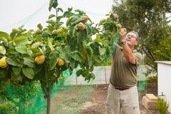 Agricoltore senior che mette una rete in un cotogno Immagine Stock