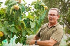 Agricoltore senior che mette una rete in un cotogno Fotografia Stock