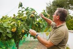 Agricoltore senior che mette una rete in un cotogno Fotografie Stock Libere da Diritti