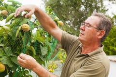 Agricoltore senior che mette una rete in un cotogno Immagine Stock Libera da Diritti