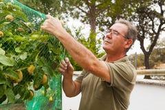 Agricoltore senior che mette una rete in un cotogno Fotografia Stock Libera da Diritti