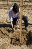 Agricoltore senior che pianta un susino Fotografia Stock Libera da Diritti