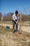 Agricoltore senior che pianta un susino Fotografie Stock
