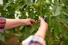 Agricoltore senior con le cesoie alla serra dell'azienda agricola Fotografia Stock Libera da Diritti