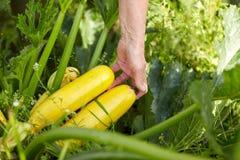 Agricoltore senior con zucca alla serra dell'azienda agricola Fotografia Stock