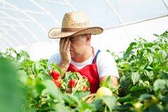 Agricoltore in serra che controlla i peperoncini Immagine Stock Libera da Diritti
