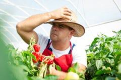 Agricoltore in serra che controlla i peperoncini Fotografia Stock Libera da Diritti