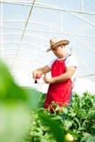 Agricoltore in serra che controlla le piante dei peperoni Fotografia Stock
