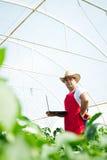 Agricoltore in serra che controlla le piante dei peperoni Immagine Stock