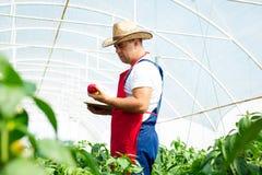 Agricoltore in serra che controlla le piante dei peperoni Immagini Stock Libere da Diritti