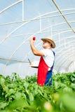 Agricoltore in serra che controlla le piante dei peperoni Fotografia Stock Libera da Diritti