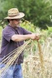 Agricoltore soddisfatto che esamina il raccolto con un mazzo di grano maturo Fotografie Stock