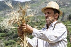 Agricoltore soddisfatto che esamina il raccolto con un mazzo di grano maturo Fotografia Stock Libera da Diritti