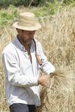 Agricoltore soddisfatto che esamina il raccolto con un mazzo di grano maturo Immagini Stock