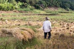 Agricoltore solo nella risaia Immagini Stock