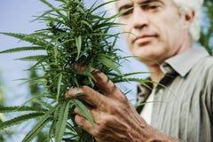 Agricoltore sorridente che controlla le piante della canapa Fotografia Stock