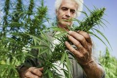 Agricoltore sorridente che controlla le piante della canapa Immagine Stock Libera da Diritti