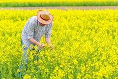 Agricoltore Standing nel giacimento agricolo coltivato seme di ravizzone del seme oleifero Immagine Stock