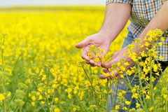 Agricoltore Standing nel giacimento agricolo coltivato seme di ravizzone del seme oleifero Immagini Stock Libere da Diritti