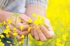Agricoltore Standing nel giacimento agricolo coltivato seme di ravizzone del seme oleifero Fotografie Stock