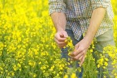 Agricoltore Standing nel giacimento agricolo coltivato seme di ravizzone del seme oleifero Fotografia Stock Libera da Diritti
