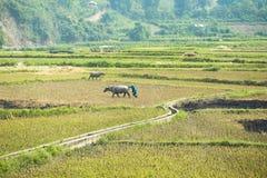 Agricoltore sul campo al Nord del Vietnam Immagini Stock