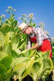 Agricoltore sul campo di tabacco Fotografie Stock Libere da Diritti