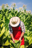 Agricoltore sul campo di tabacco Fotografie Stock