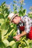 Agricoltore sul campo di tabacco Immagini Stock